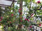 Bạn trẻ - Cuộc sống - Không cần quà 8/3 vì có cả vườn hồng đẹp như mơ