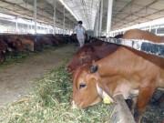 """Thị trường - Tiêu dùng - Việt Nam """"bắt tay"""" nuôi bò Úc quy mô lớn"""