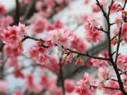 Tin tức trong ngày - Vụ bẻ hoa anh đào: Tường trình của nữ Phó giám đốc Sở