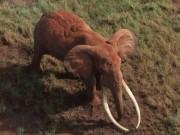 Thế giới - Voi có cặp ngà 1 tạ bị bắn chết ở Kenya