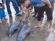Hà Tĩnh: Ngư dân bắt được 3 con cá heo gần bờ biển