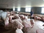 """Thị trường - Tiêu dùng - Đem 3 tỷ đồng """"đánh cược"""" nghề nuôi lợn"""