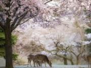 Du lịch - Địa điểm ngắm hoa anh đào đẹp xao xuyến ở Nhật Bản