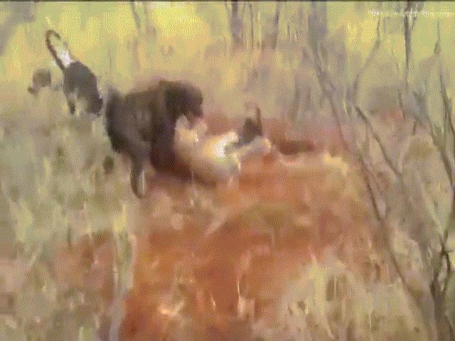 Video: Báo đốm sát thủ hạ gục cá sấu bằng đòn chí mạng - 3