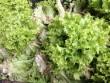 Rau xanh Đà Lạt được mùa, giá rẻ bèo