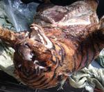 Phát hiện 5 con hổ lớn trong nhà một người dân - 2