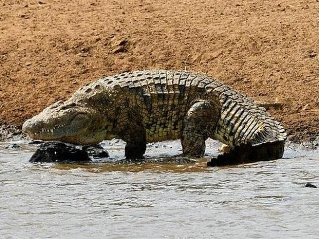 Cầu thủ Mozambique bị cá sấu khổng lồ dài 5m ăn thịt