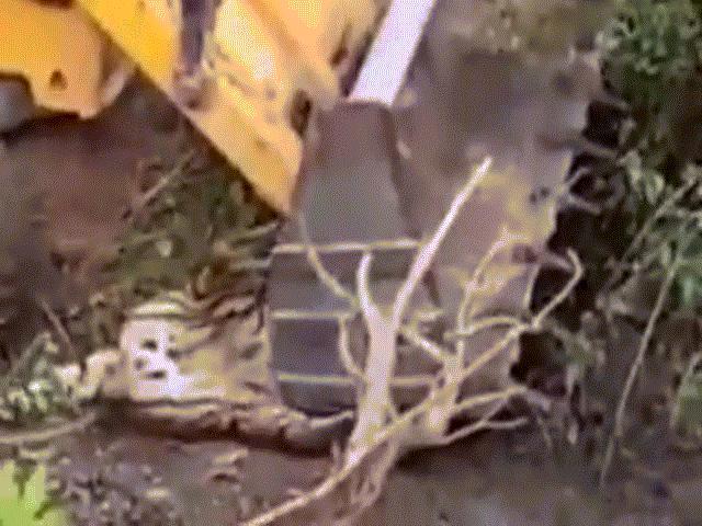 """Dùng máy xúc """"nghiền"""" chết hổ giết người ở Ấn Độ"""