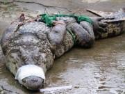 Thị trường - Tiêu dùng - Cá sấu rớt giá, người nuôi lao đao