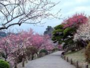 Mê mẩn khu vườn hàng nghìn cây hoa mận bung nở rực rỡ