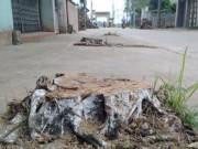 """Tin tức trong ngày - Xót xa cảnh cả trăm cây xanh trơ gốc sau """"cơn lốc"""" vỉa hè"""
