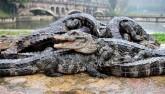 """TQ: Hết rét, """"xách cổ"""" 13.000 cá sấu ra ngoài tắm nắng"""