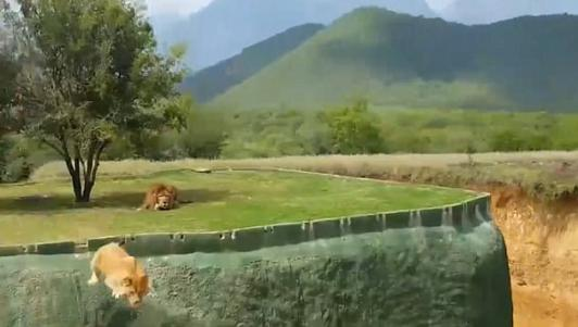 Mexico: Sư tử bất ngờ nhảy qua hào sâu tấn công du khách