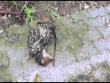 Video: Trăn há mồm nuốt chửng mẹ con thú có túi ở Úc
