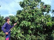 Thị trường - Tiêu dùng - Nông dân Việt xuất ngoại thuê đất trồng xoài