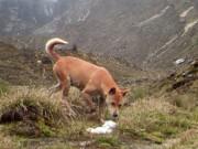 """Loài chó hiếm nhất, cổ nhất thế giới  """" tái xuất giang hồ """""""