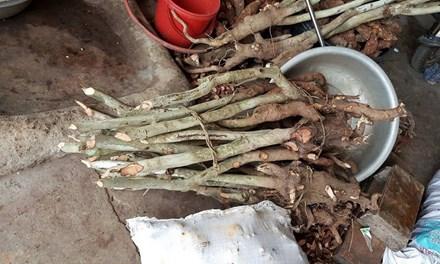 Dân đổ xô vào rừng đào gốc trà hoa vàng để bán - 1