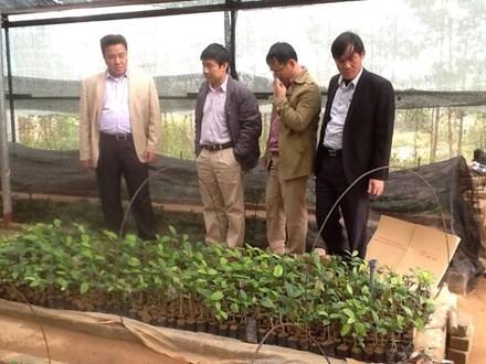 Dân đổ xô vào rừng đào gốc trà hoa vàng để bán - 3