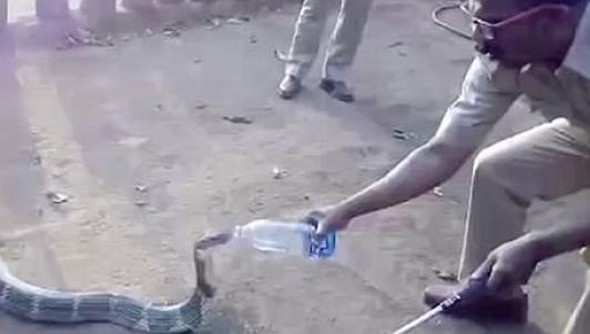 """Ấn Độ: Hổ mang chúa khổng lồ tìm dân """"xin"""" nước uống"""