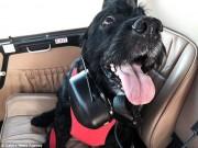 Chú chó được ông chủ tậu hẳn trực thăng để đưa đi chữa bệnh