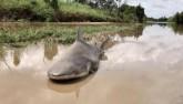 Úc: Giật mình thấy cá mập bò nằm chềnh ềnh giữa đường