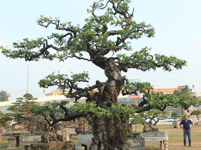 Ngắm cây 100 tuổi một gốc hai loài giá bạc tỷ của nghệ nhân ở Sài Gòn - 14