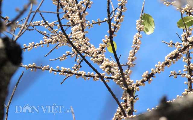 Lạ kỳ cây sộp cổ thụ trổ lộc trắng cành đúng năm mới 2018 ở Sài Gòn - 3