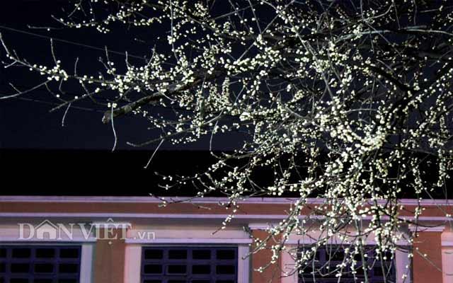 Lạ kỳ cây sộp cổ thụ trổ lộc trắng cành đúng năm mới 2018 ở Sài Gòn - 5
