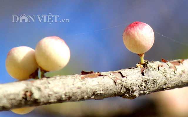 Lạ kỳ cây sộp cổ thụ trổ lộc trắng cành đúng năm mới 2018 ở Sài Gòn - 6