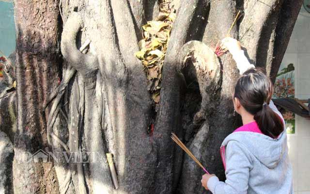 Lạ kỳ cây sộp cổ thụ trổ lộc trắng cành đúng năm mới 2018 ở Sài Gòn - 9