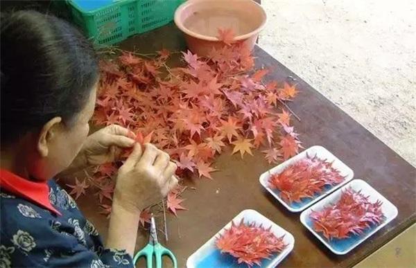 Nhờ bán...lá cây, các cụ bà Nhật Bản kiếm được 52 tỷ đồng/năm - 7