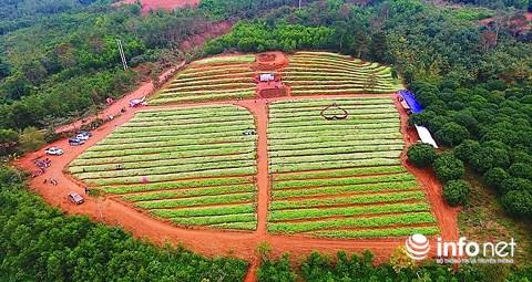 Ngỡ ngàng vẻ đẹp mê hồn của vườn hoa tam giác mạch ở miền Tây xứ Nghệ - 1