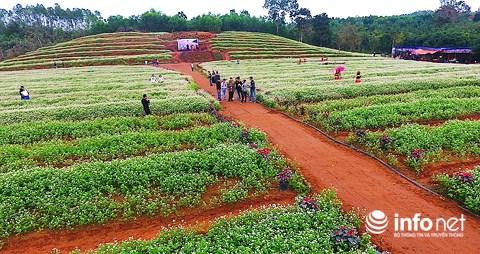 Ngỡ ngàng vẻ đẹp mê hồn của vườn hoa tam giác mạch ở miền Tây xứ Nghệ - 4