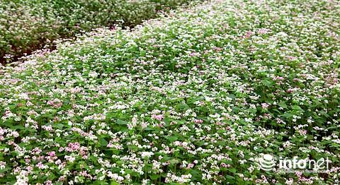 Ngỡ ngàng vẻ đẹp mê hồn của vườn hoa tam giác mạch ở miền Tây xứ Nghệ - 12