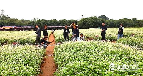 Ngỡ ngàng vẻ đẹp mê hồn của vườn hoa tam giác mạch ở miền Tây xứ Nghệ - 9