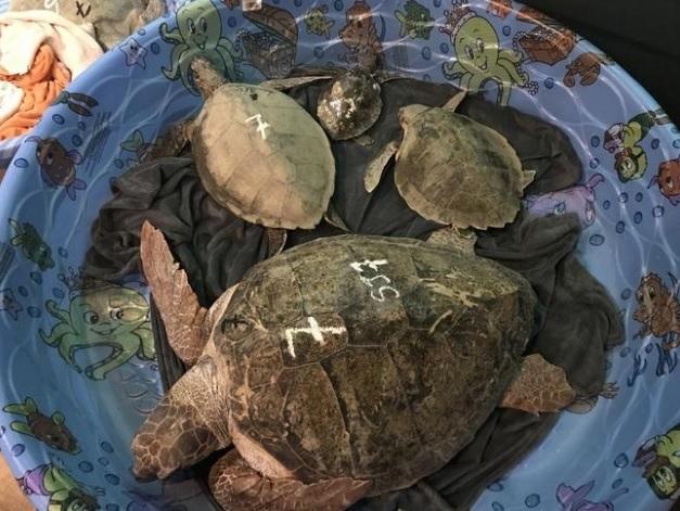 """3.000 rùa biển """"lăn quay"""" bất tỉnh vì giá rét kỷ lục ở Mỹ - 5"""