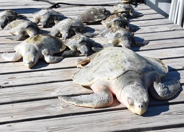 """3.000 rùa biển """"lăn quay"""" bất tỉnh vì giá rét kỷ lục ở Mỹ - 3"""