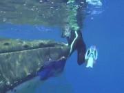 Thế giới - Lý do cá voi 23 tấn dùng vây che chở, cứu nữ thợ lặn khỏi cá mập