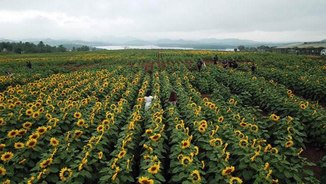 Tới xứ Nghệ ghé thăm cánh đồng hoa hướng dương miễn phí tham quan - 2