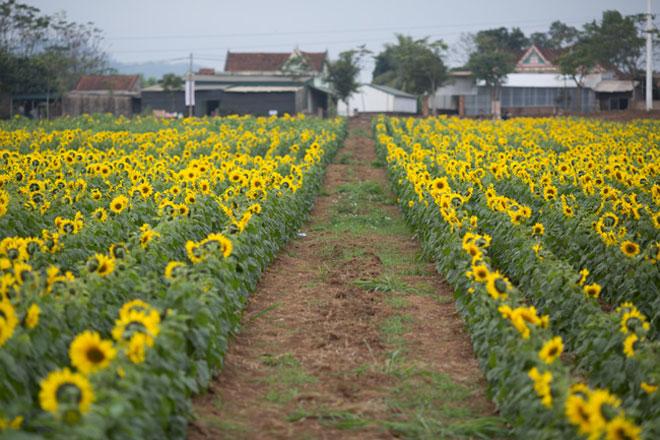 Tới xứ Nghệ ghé thăm cánh đồng hoa hướng dương miễn phí tham quan - 4
