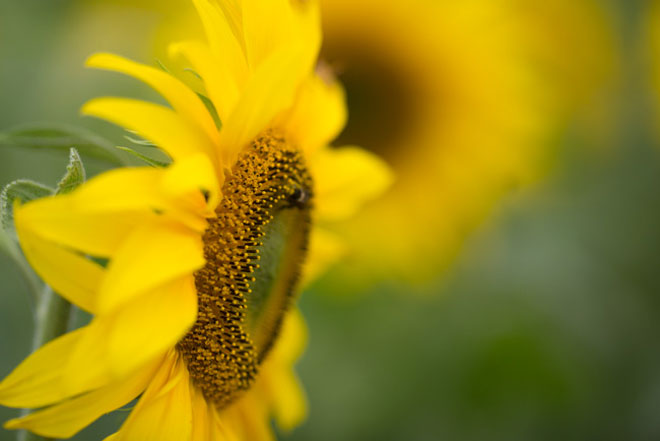 Tới xứ Nghệ ghé thăm cánh đồng hoa hướng dương miễn phí tham quan - 8