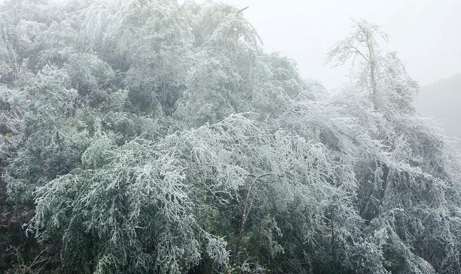 Rét khủng khiếp, cây cối hóa đá trên đỉnh Mù Cang Chải - 3