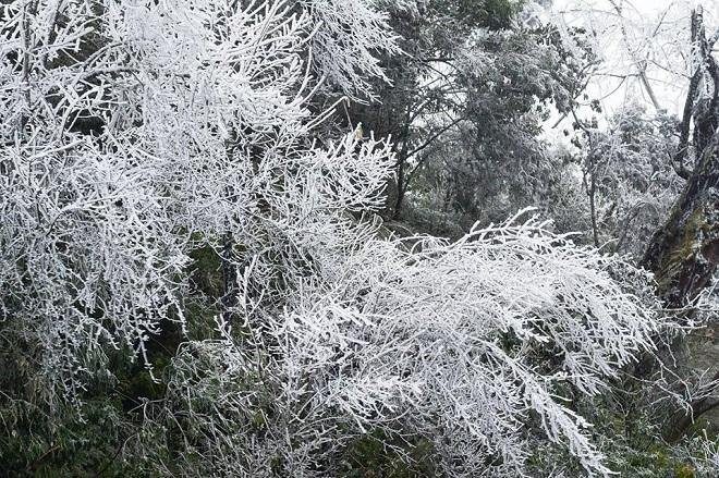 Rét khủng khiếp, cây cối hóa đá trên đỉnh Mù Cang Chải - 6