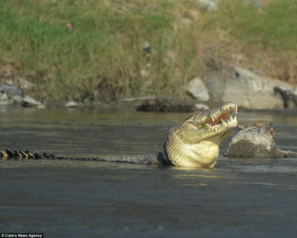 Cá sấu khổng lồ mắc kẹt trong lốp xe suốt 2 năm - 2