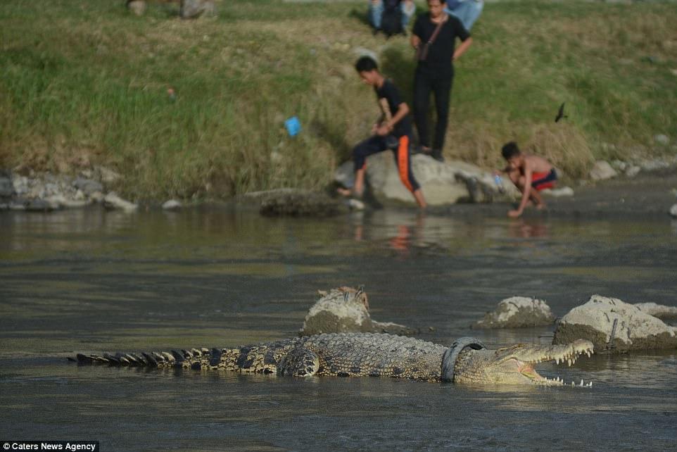 Cá sấu khổng lồ mắc kẹt trong lốp xe suốt 2 năm
