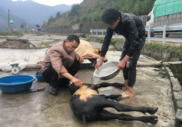 Lào Cai: Trâu, nghé chết la liệt, mổ bán ngay vệ đường - 2