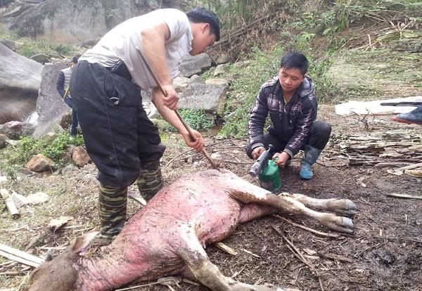Lào Cai: Trâu, nghé chết la liệt, mổ bán ngay vệ đường - 4