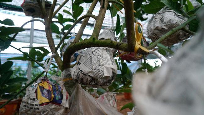 """Phật thủ bonsai giá bạc triệu có nguy cơ """"cháy hàng"""" trước Tết - 10"""