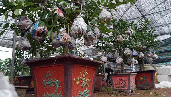 """Phật thủ bonsai giá bạc triệu có nguy cơ """"cháy hàng"""" trước Tết - 12"""