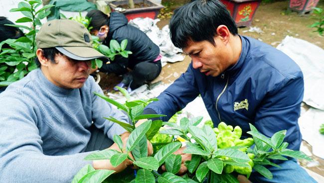"""Phật thủ bonsai giá bạc triệu có nguy cơ """"cháy hàng"""" trước Tết - 4"""